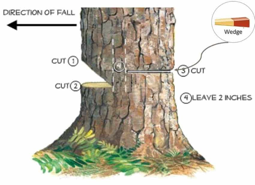 First 4 steps in how to cut down a tree with a chainsaw